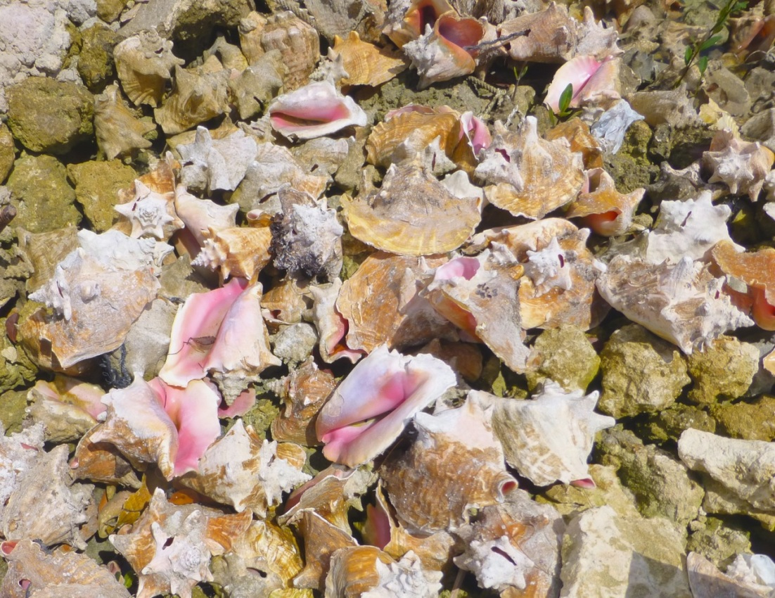 Conch at Sandy Point (Clare)