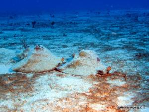 Conch preparing to mate ©Melinda Riger @ GB Scuba