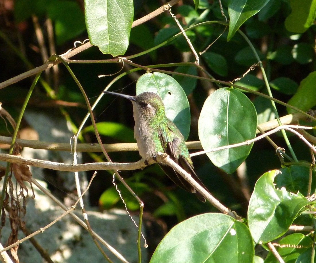 Cuban Emerald Hummingbird, Delphi, Abaco 1