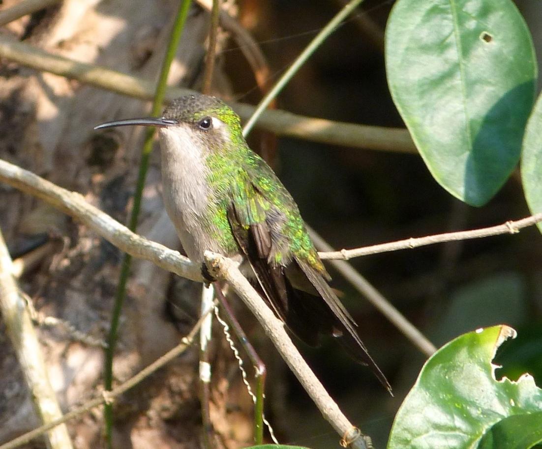 Cuban Emerald Hummingbird, Delphi, Abaco 2