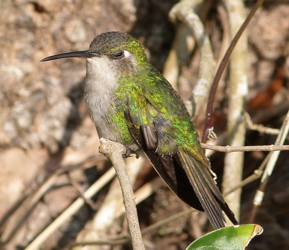 Cuban Emerald Hummingbird, Delphi, Abaco 3