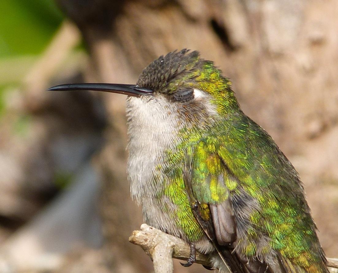 Cuban Emerald Hummingbird, Delphi, Abaco 6