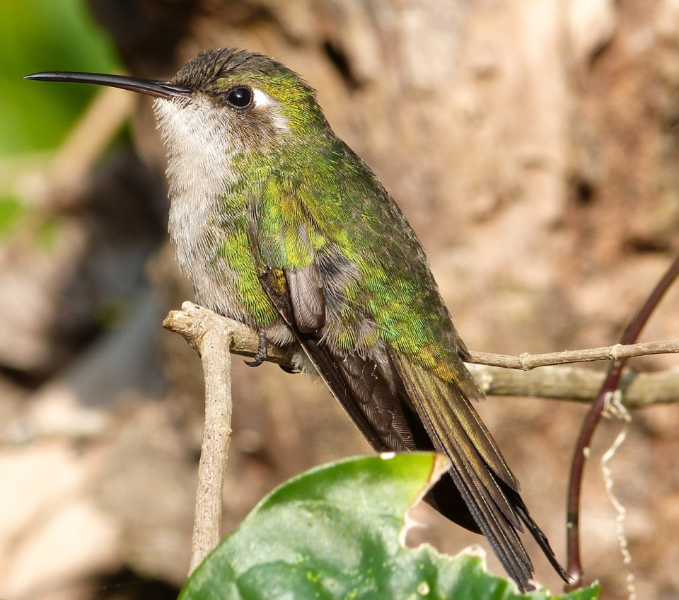 Cuban Emerald Hummingbird, Delphi, Abaco (Keith Salvesen)