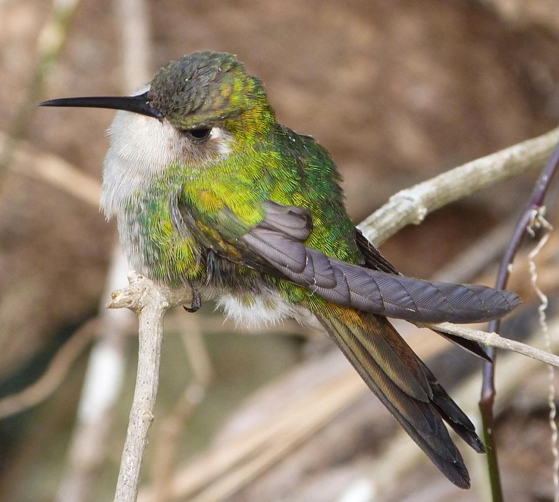 Cuban Emerald Hummingbird, Delphi, Abaco 8