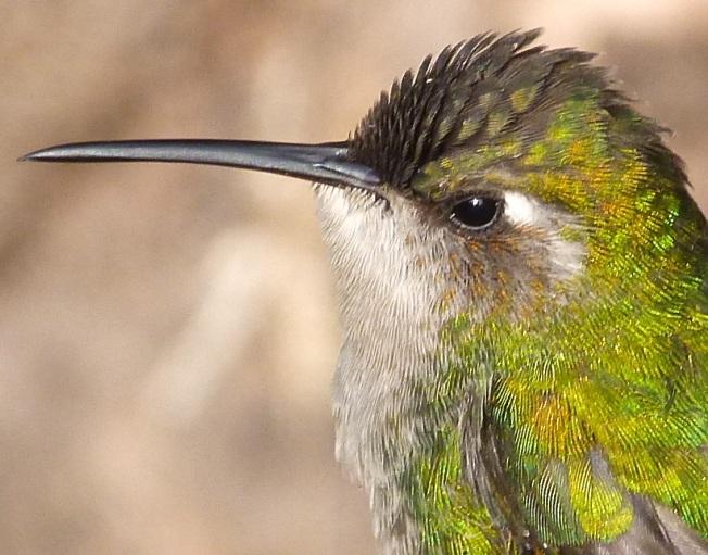 Cuban Emerald Hummingbird, Delphi, Abaco10