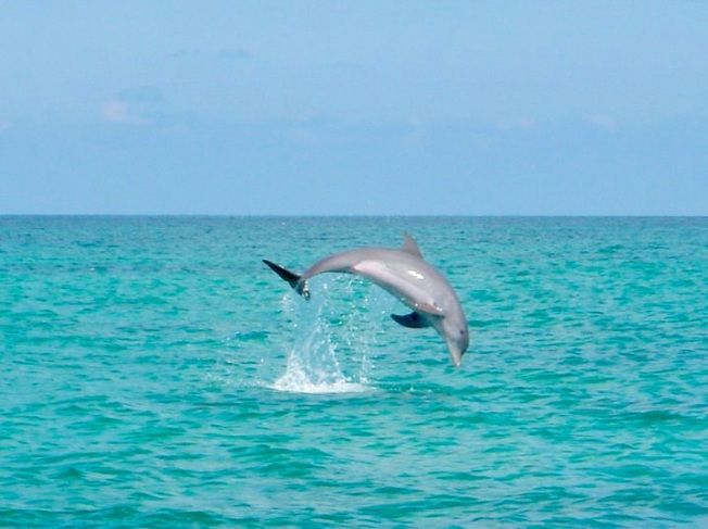 Dolphin Leap Abaco ©BMMRO
