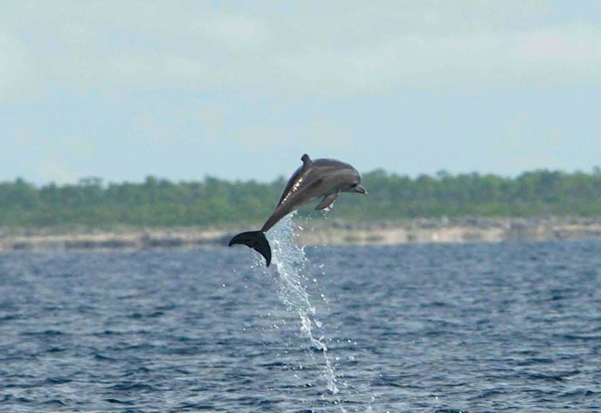 Dolphin, one of a pod of 50