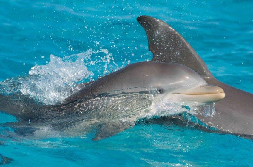 Happy Dolphin Abaco ©BMMRO