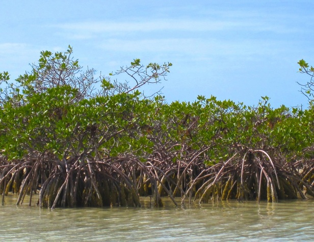 Mangroves, The Marls, Abaco, Bahamas