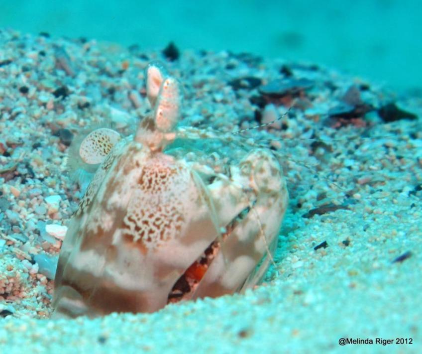 Mantis Shrimp 2 ©Melinda Riger @GBS