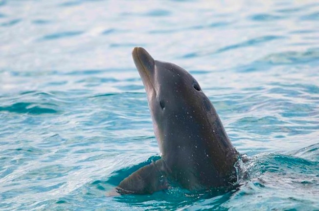 One of a large pod of 28 dolphins