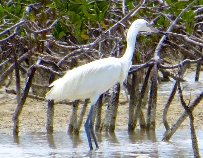 Reddish Egret (White Morph) Abaco 1