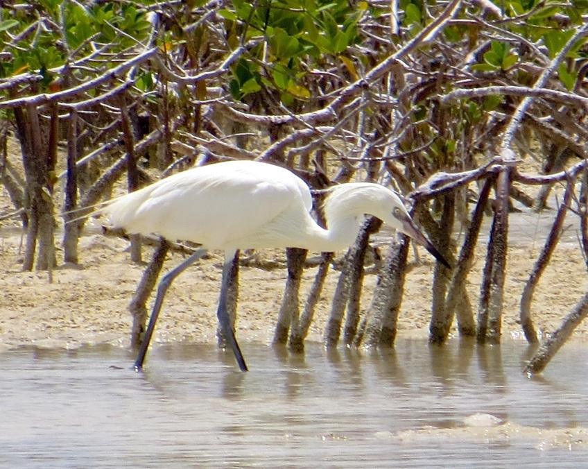 Reddish Egret (White Morph) Abaco 2