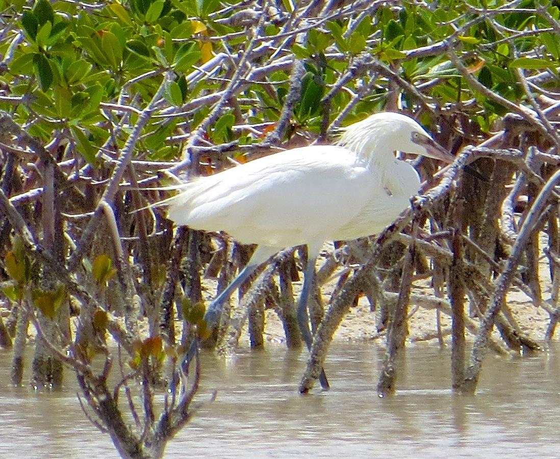 Reddish Egret (White Morph) Abaco 3