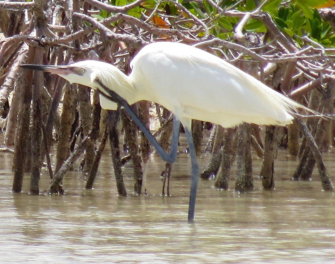 Reddish Egret (White Morph) Abaco 4
