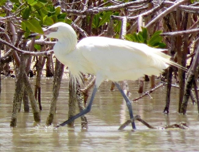 Reddish Egret (White Morph) Abaco 6