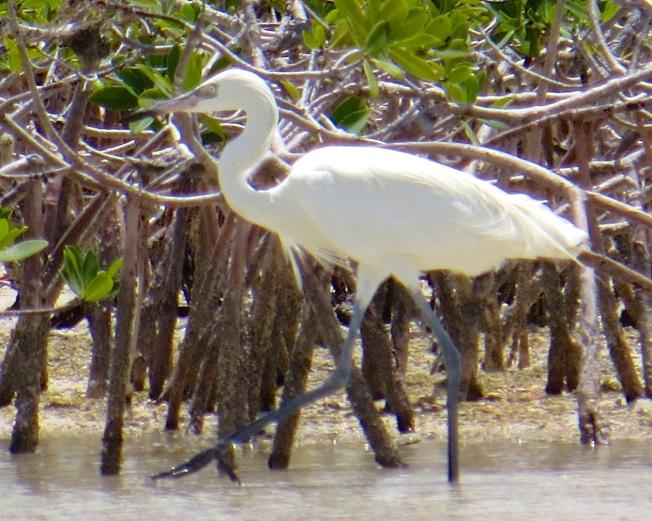 Reddish Egret (White Morph) Abaco 7