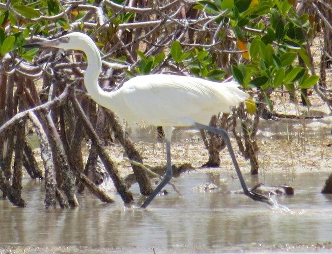Reddish Egret (White Morph) Abaco 8