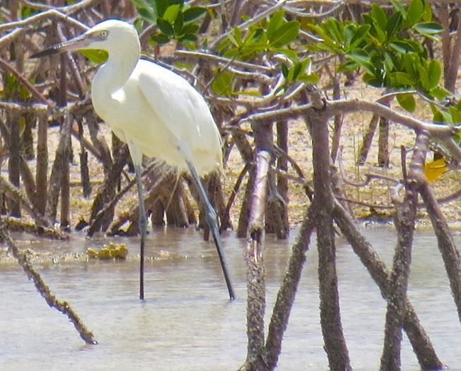 Reddish Egret (White Morph) Abaco 9