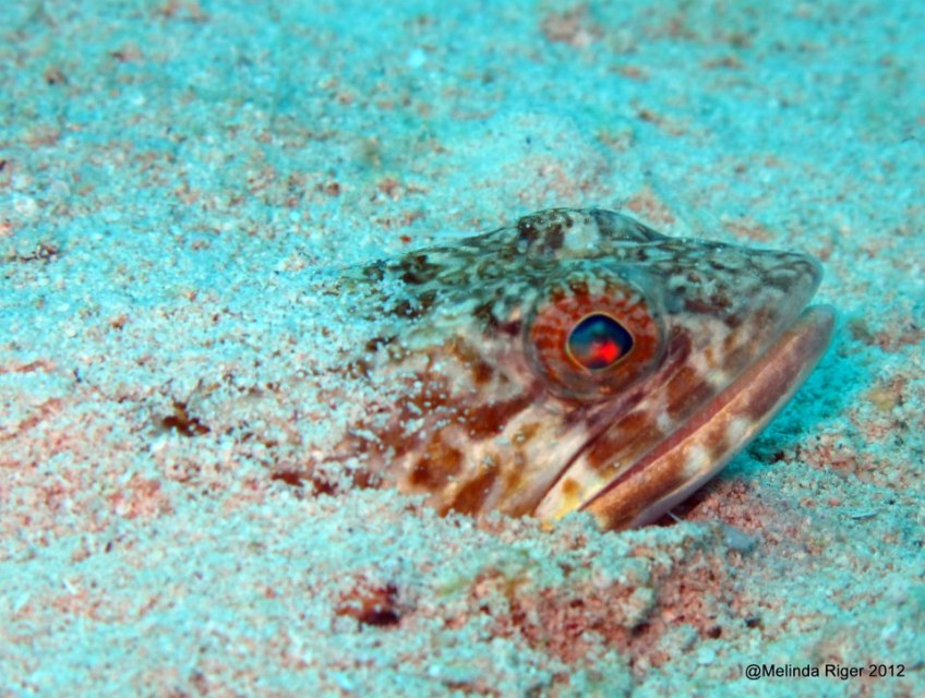 Sand Diver Fish