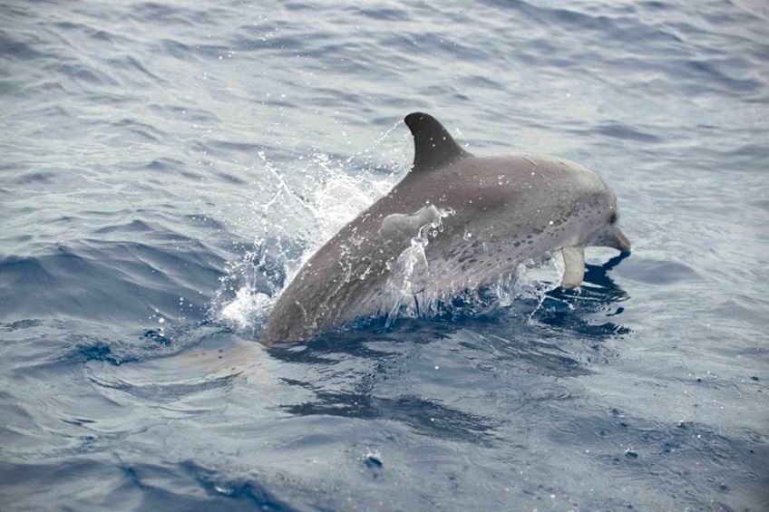 Spotted Dolphin Abaco ©BMMRO