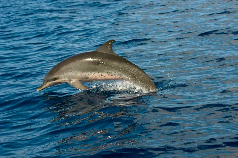 Spotted Dolphin, Abaco ©BMMRO