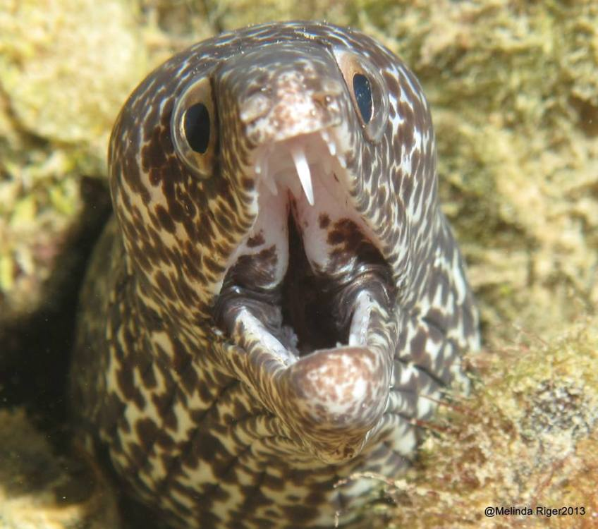 Spotted Moray Eel ©Melinda Riger @ G B Scuba