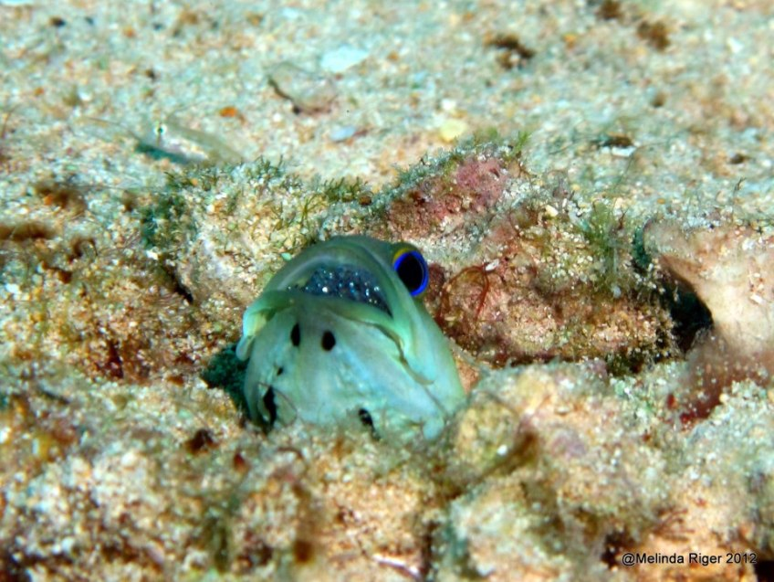 Yellowhead Jawfish with eggs in mouth ©Melinda Riger GB Scuba