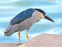220px-Black-crowned_Night_Heron_RWD7