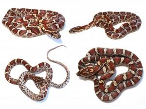 corn-snake2-300x224