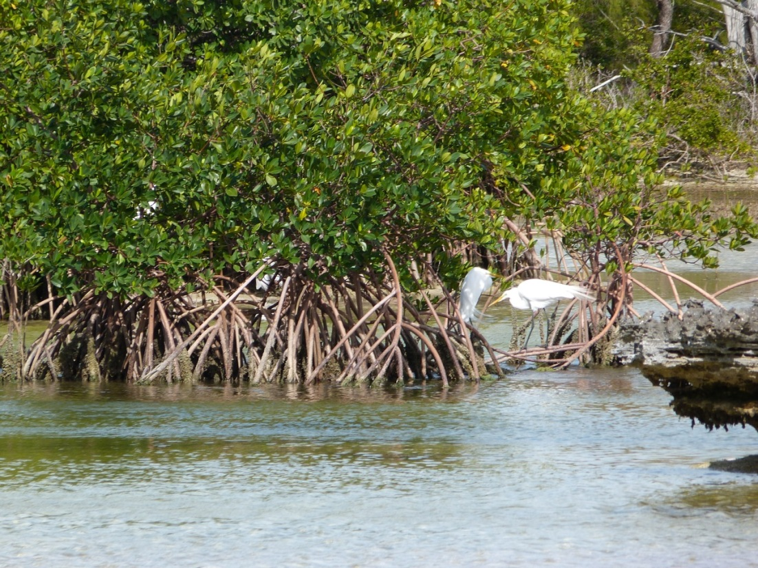Great Egret Abaco 1
