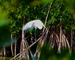 Great Egret Abaco 10