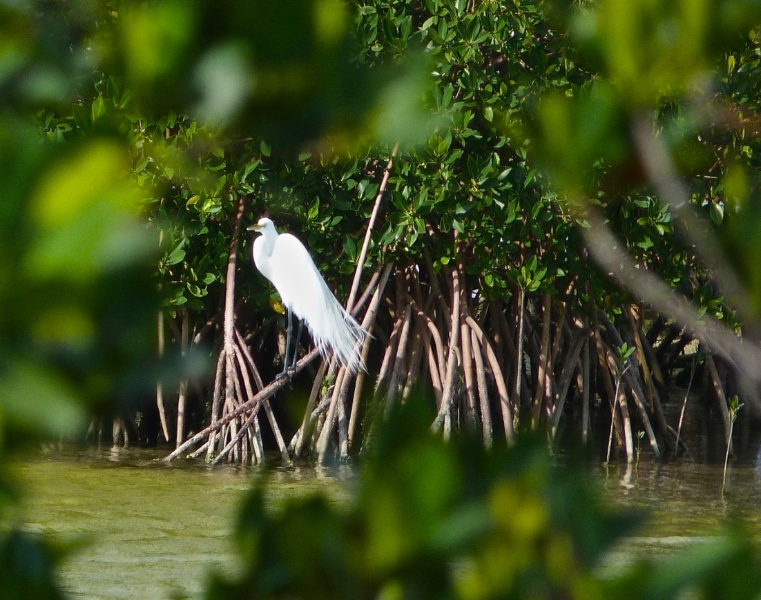 Great Egret Abaco 11