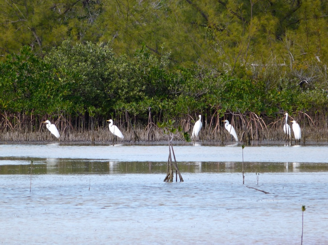 Great Egret Abaco 12