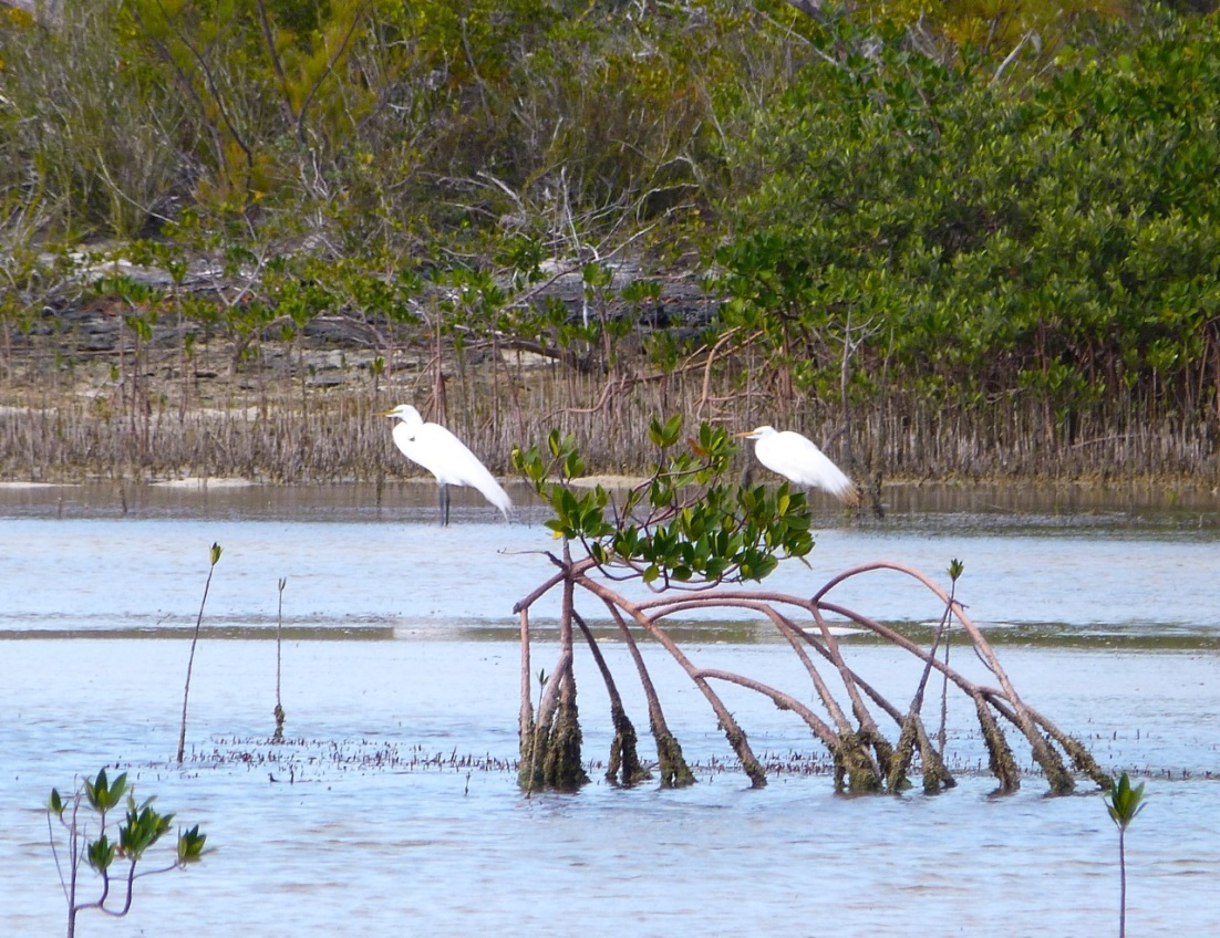 Great Egret Abaco 13