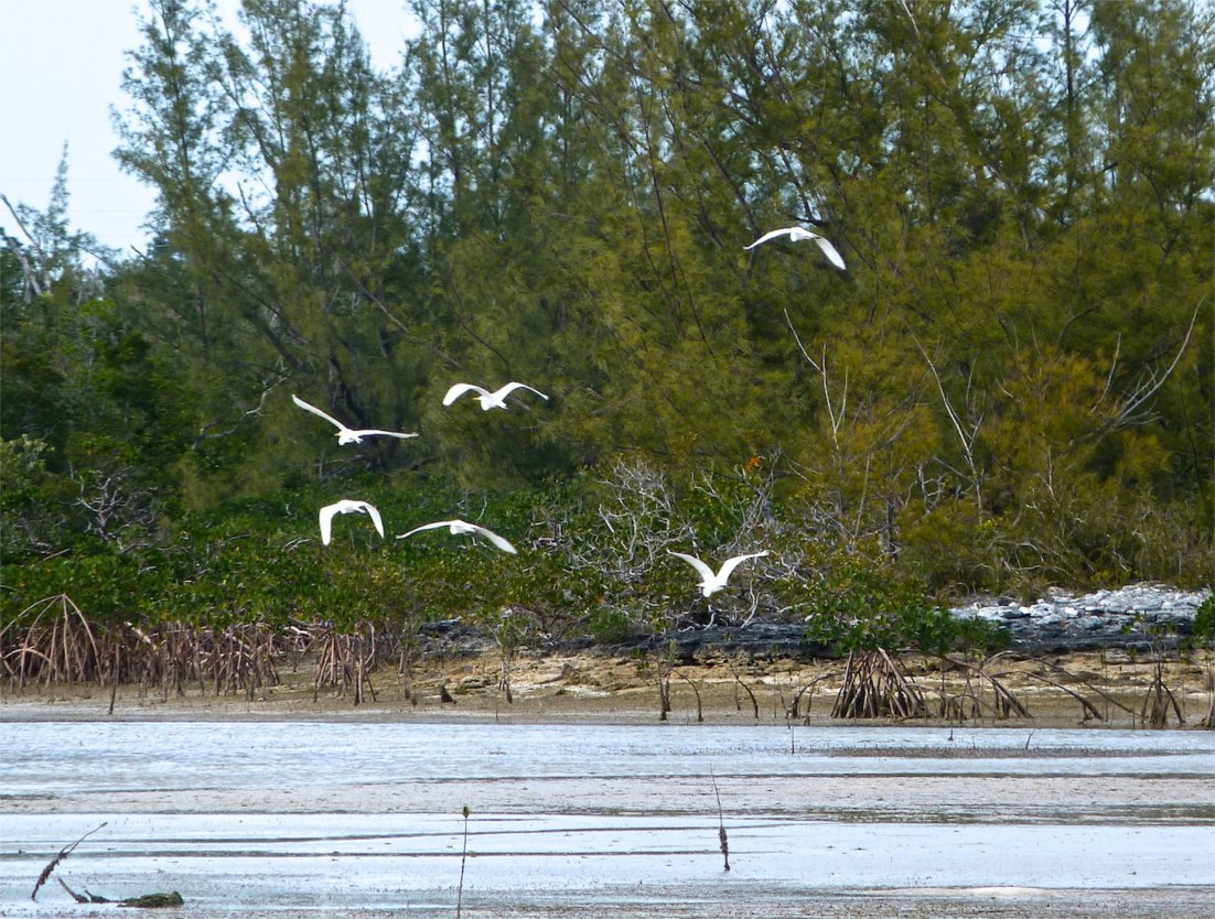 Great Egret Abaco 14