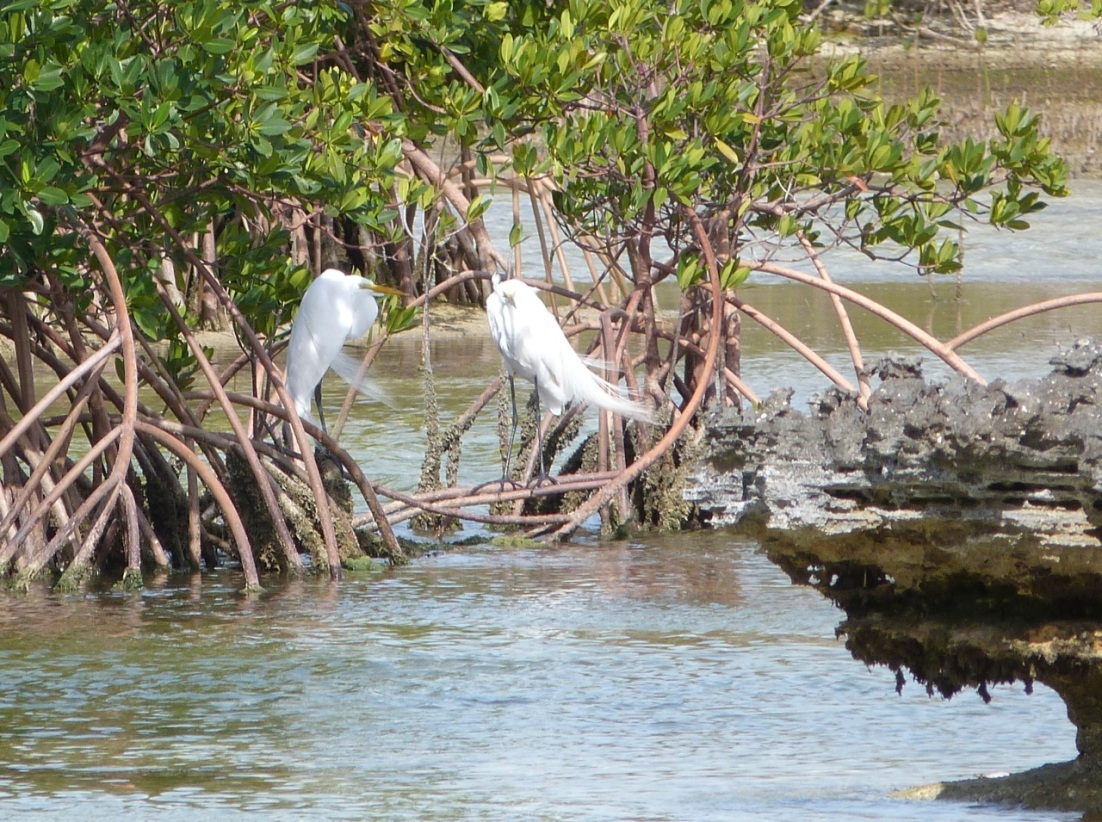 Great Egret Abaco 2