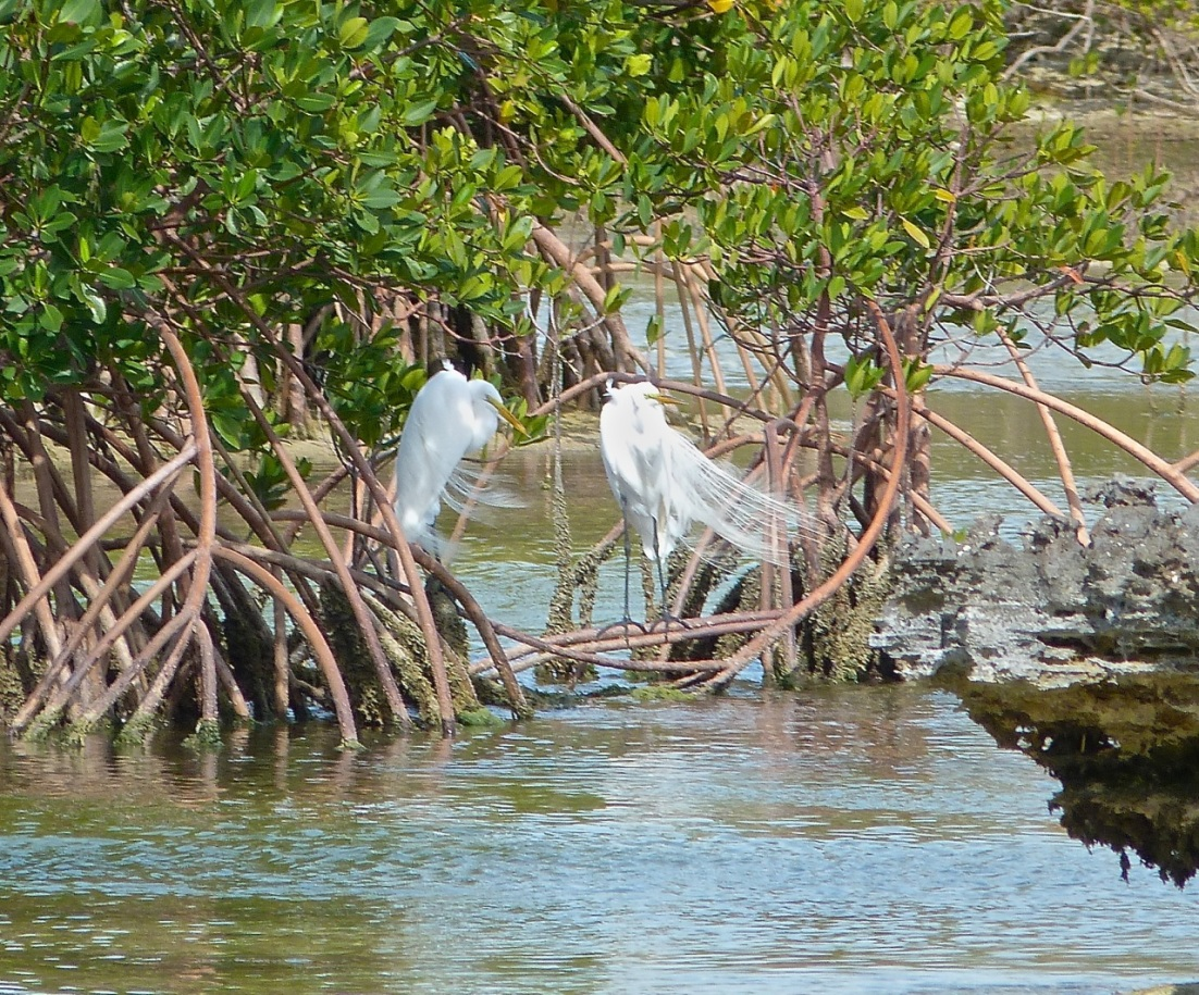 Great Egret Abaco 3
