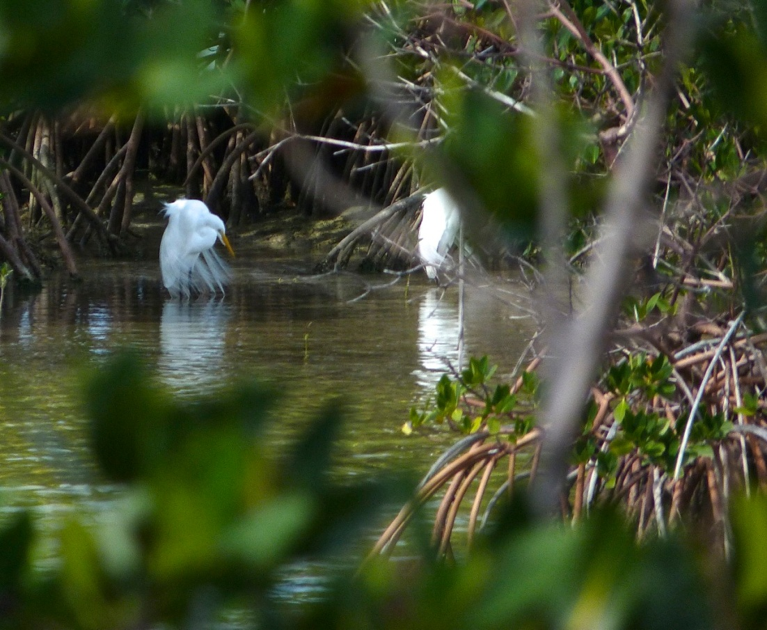 Great Egret Abaco 6