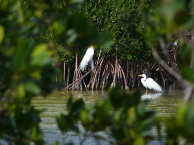 Great Egret Abaco 7