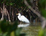Great Egret Abaco - Treasure Cay Ponds (Keith Salvesen)