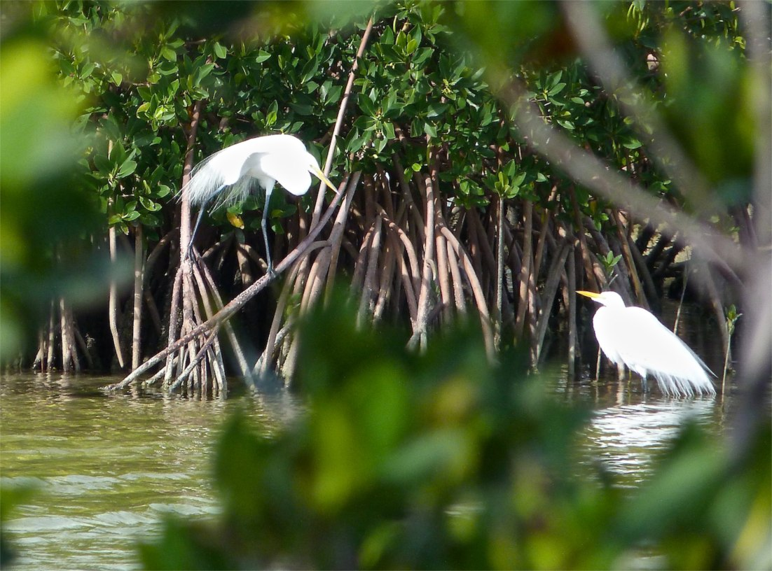 Great Egret Abaco 9