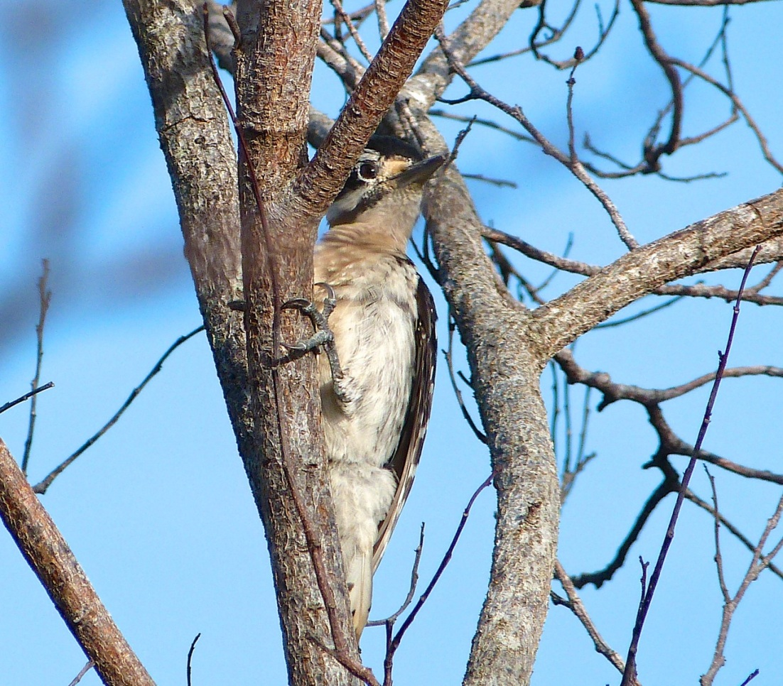 Hairy Woodpecker, Delphi Abaco 1