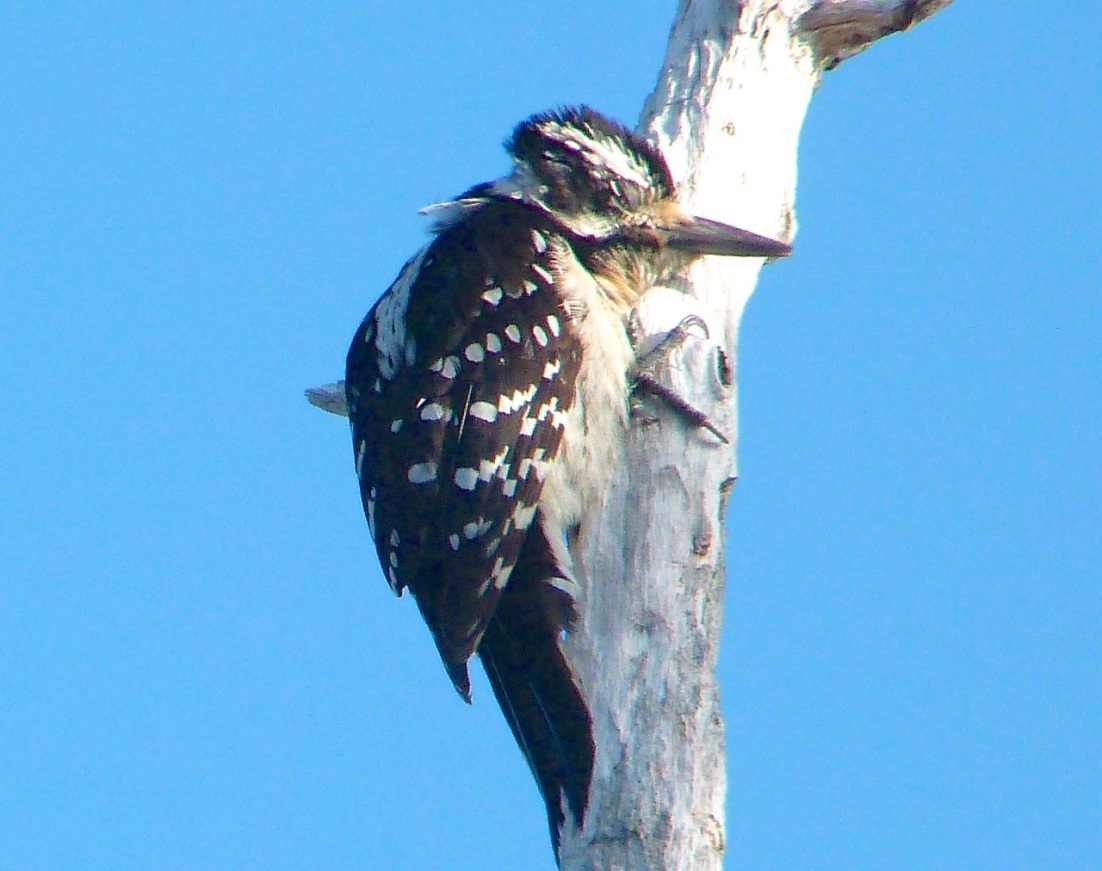 Hairy Woodpecker, Delphi Abaco 12