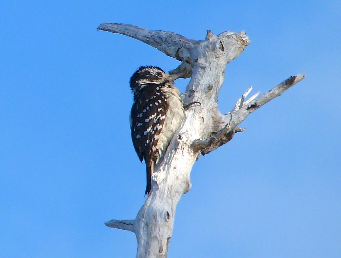 Hairy Woodpecker, Delphi Abaco 13