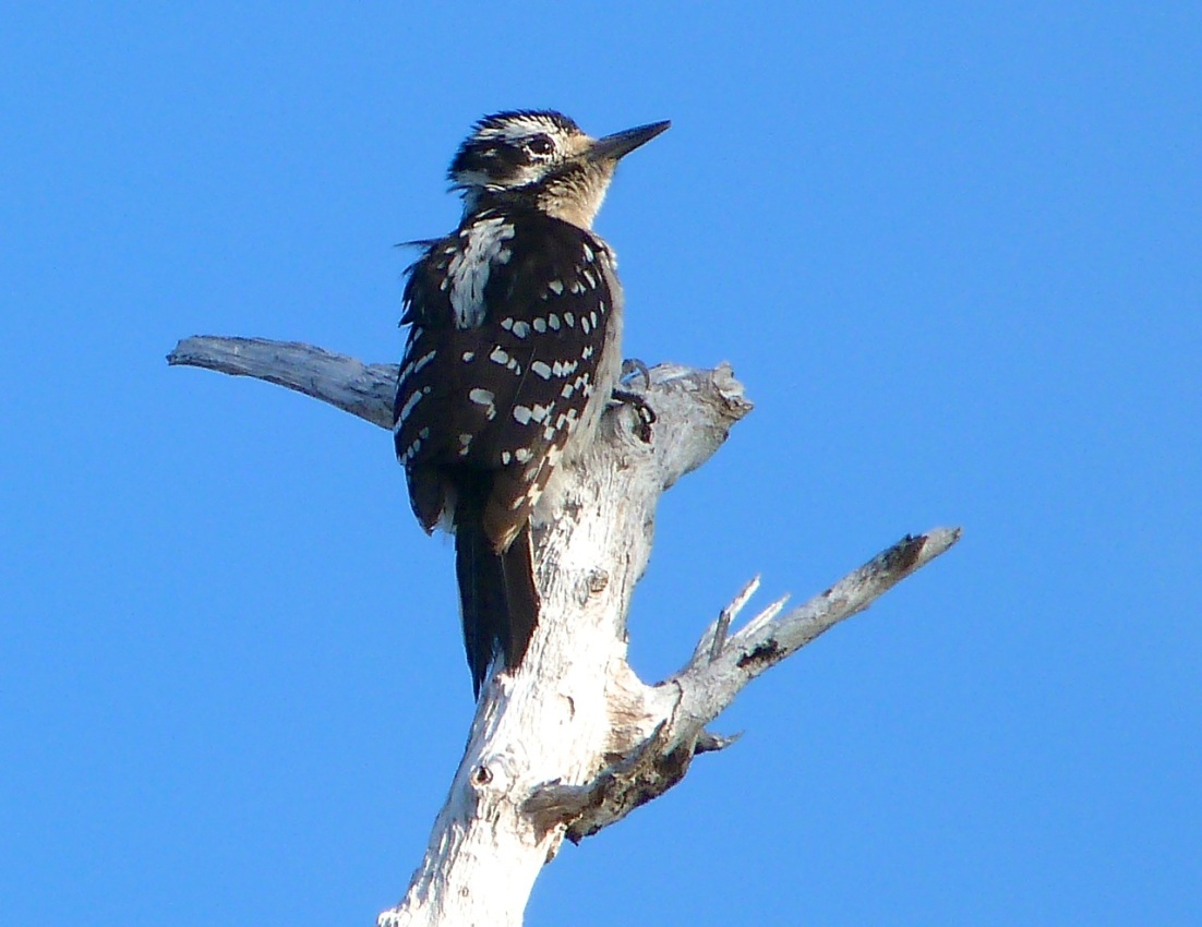 Hairy Woodpecker, Delphi Abaco 14