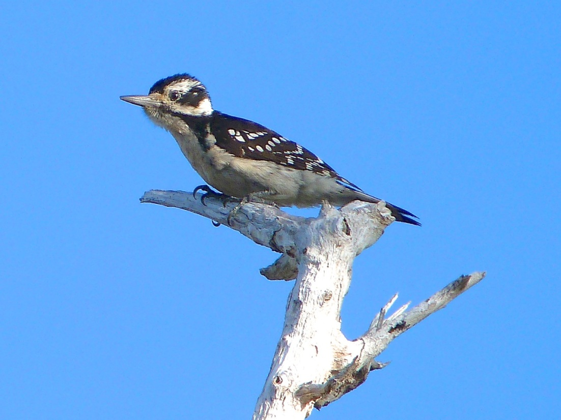 Hairy Woodpecker, Delphi Abaco 15