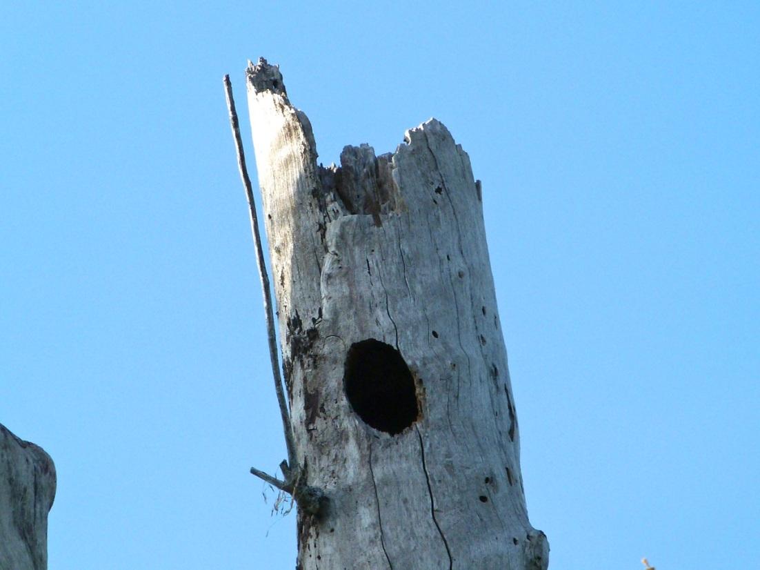 Hairy Woodpecker, Delphi Abaco 16