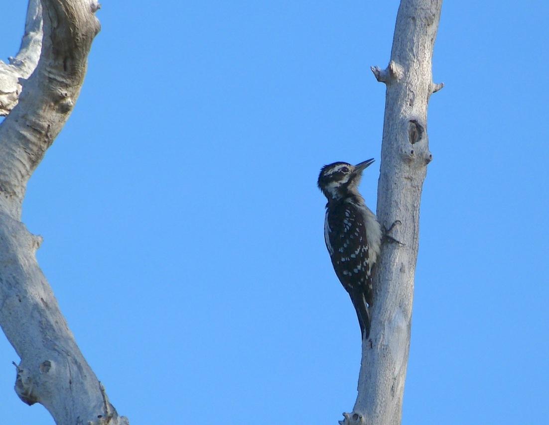 Hairy Woodpecker, Delphi Abaco 3