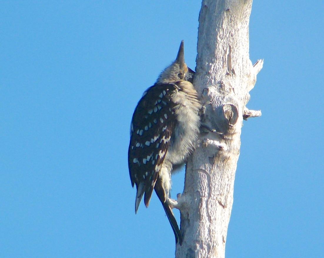Hairy Woodpecker, Delphi Abaco 5